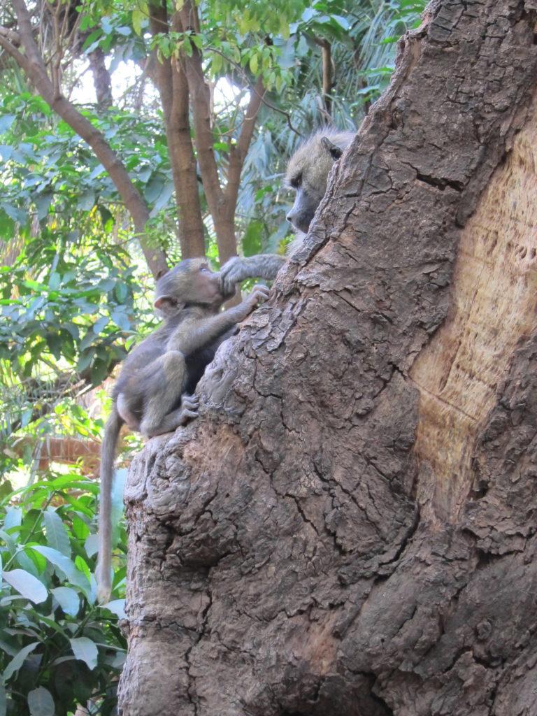 Photo Journal: Tanzania Safari in 7 Days - Lake Manyara Baboon