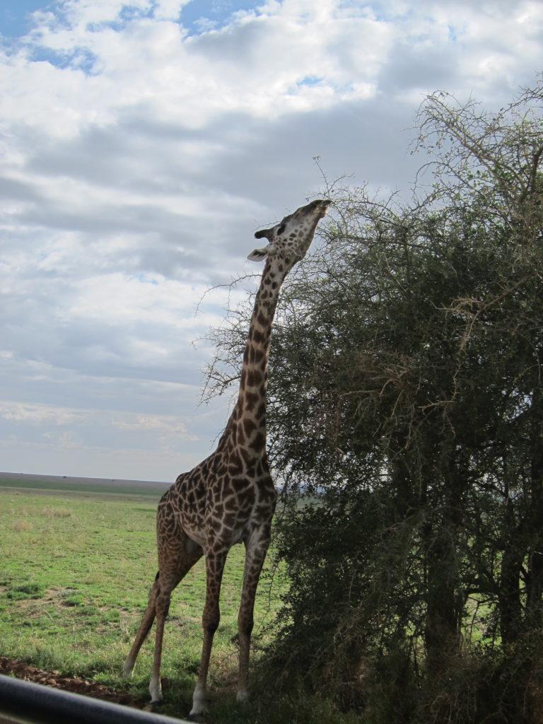 Photo Journal: Tanzania Safari in 7 Days - Serengeti National Park Giraffe