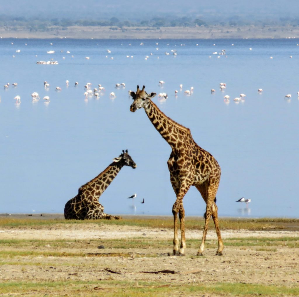 Photo Journal: Tanzania Safari in 7 Days - Lake Manyara Giraffe