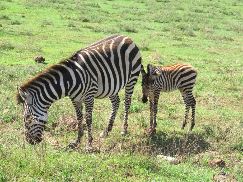 Photo Journal: Tanzania Safari in 7 Days - Ngorongoro Conservation Area Zebra