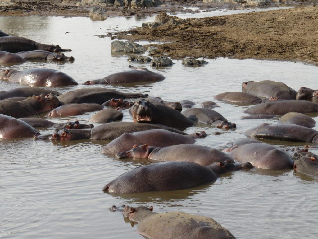 Photo Journal: Tanzania Safari in 7 Days - Serengeti National Park Hippo Pool