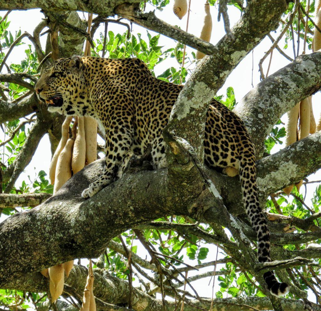 Photo Journal: Tanzania Safari in 7 Days - Serengeti National Park Leopard