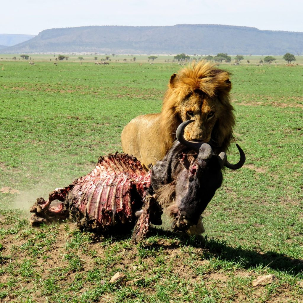 Photo Journal: Tanzania Safari in 7 Days - Serengeti National Park Lion Carcass