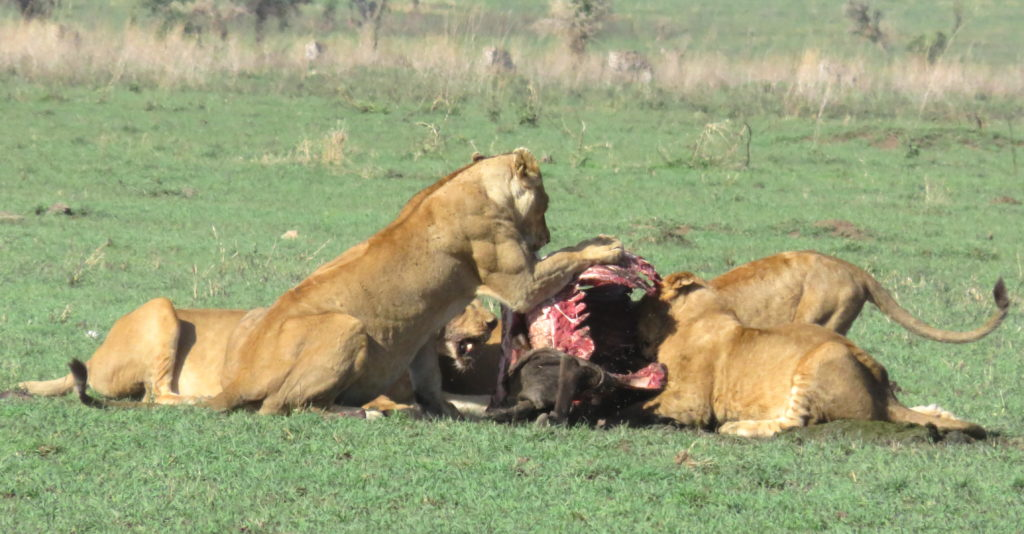 Photo Journal: Tanzania Safari in 7 Days - Serengeti National Park Lion Female