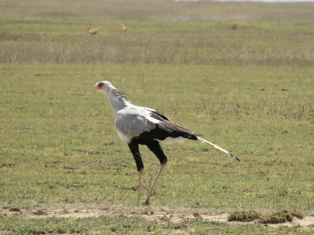 Photo Journal: Tanzania Safari in 7 Days - Serengeti National Park Secretary Bird
