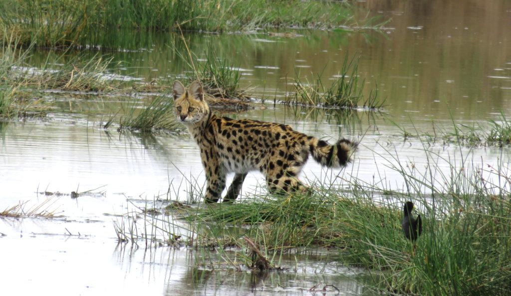 Photo Journal: Tanzania Safari in 7 Days - Serengeti National Park Serval Cat