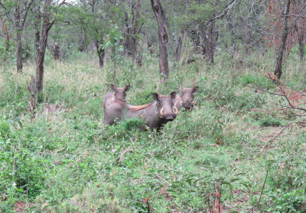 Photo Journal: Tanzania Safari in 7 Days - Serengeti National Park Warthog