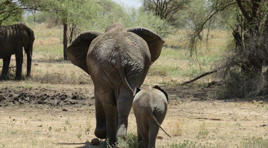 Tanzania Tarangire National Park Safari Elephant