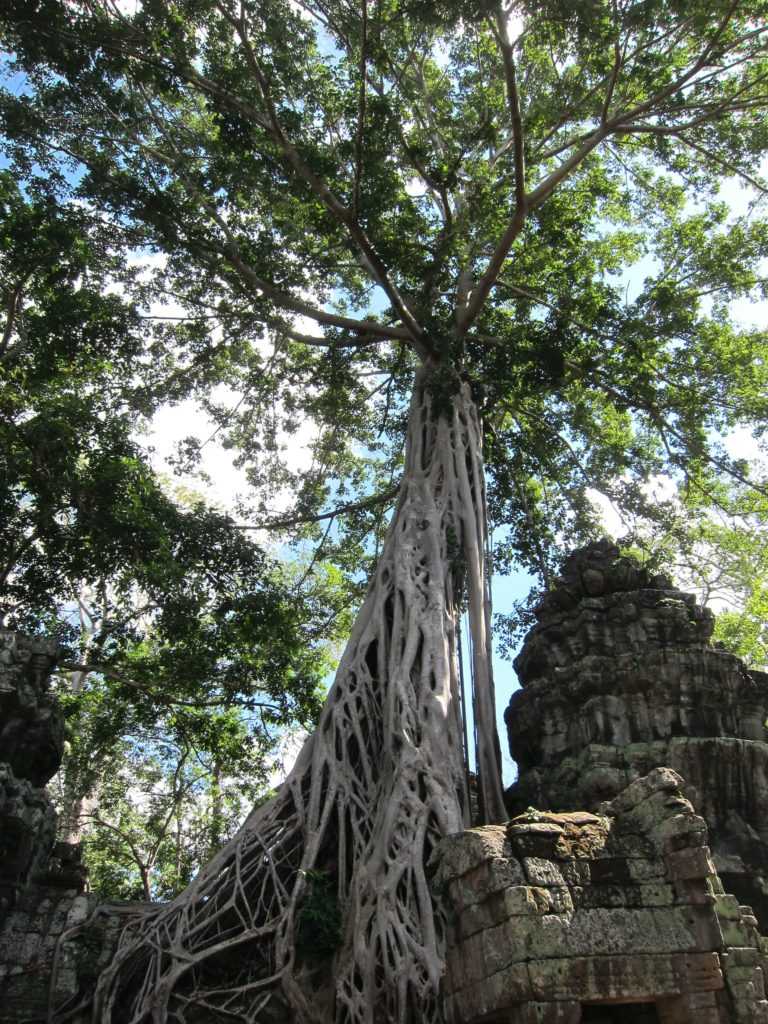3 Days of Temples Galore in Siem Reap, Cambodia - Ta Prohm Famous Tree