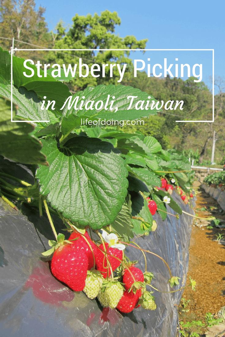 Enjoy Strawberry Picking in Miaoli, Taiwan