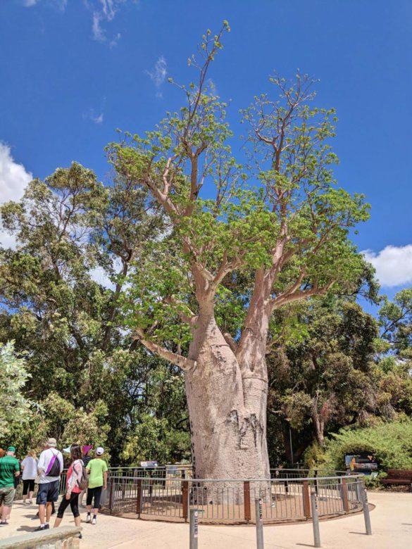 Perth, Australia Things To Do - Kings Park Baobab Tree