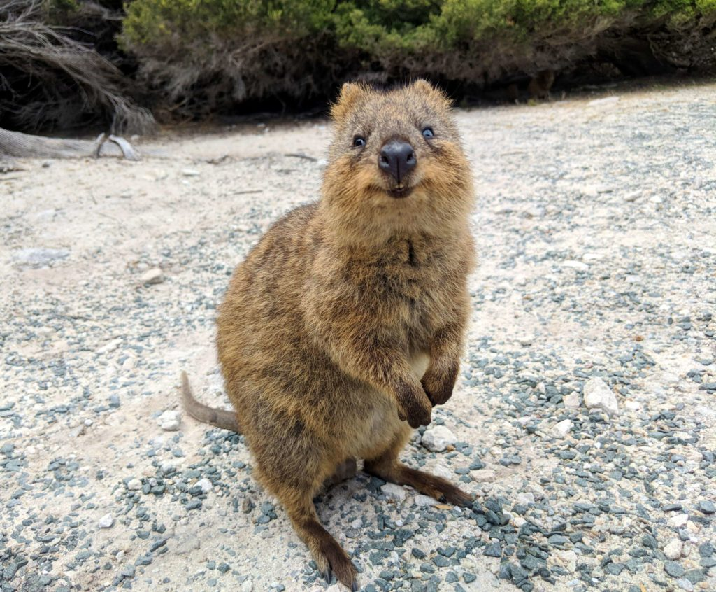 Visit Rottnest Island - Quokka