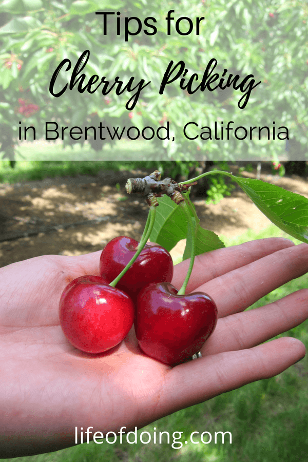 Cherry Picking Tips in Brentwood, California