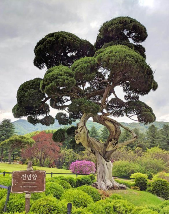 The beautiful Millennium Juniper at Garden of Morning Calm, Gapyeong, South Korea