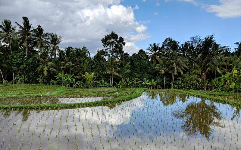 Juwuk Manis Rice Fields in Ubud, Bali, Indonesia