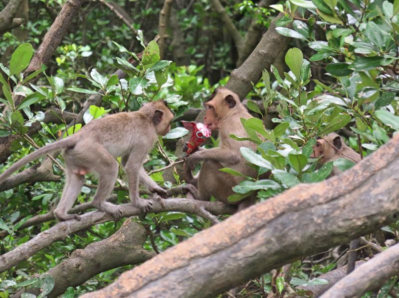 Can Gio Island, Vietnam - Monkeys eating ice cream on Can Gio Monkey Island