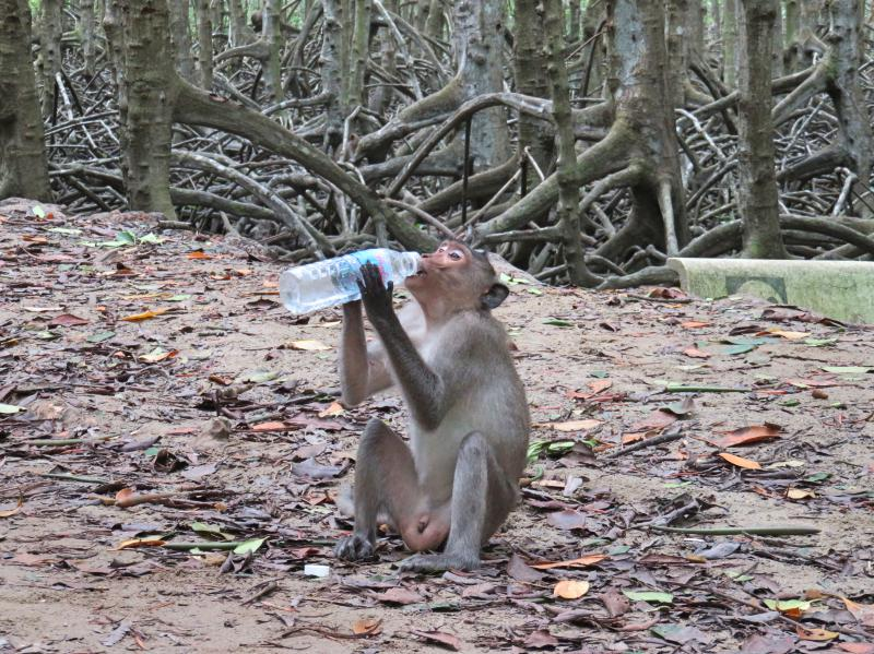 Can Gio Island, Vietnam - Monkey drinking water from a water bottle on Can Gio Monkey Island