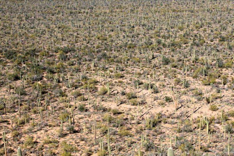 UNESCO Creative Cities of Gastronomy: Tucson, Arizona, United States has endless amounts of saguaro cacti