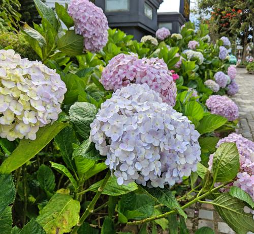 We found colorful hydrangeas during our exploration of Dalat's city center.