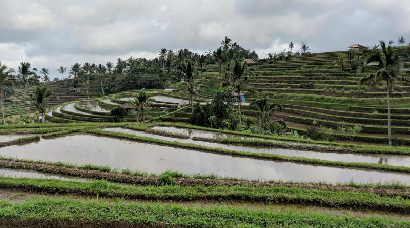 Jatiluwih rice terrace has beautiful cascading rice fields and palm trees. Depending on your time of visit, the rice fields can be a luscious green or brown depending on the harvest season.