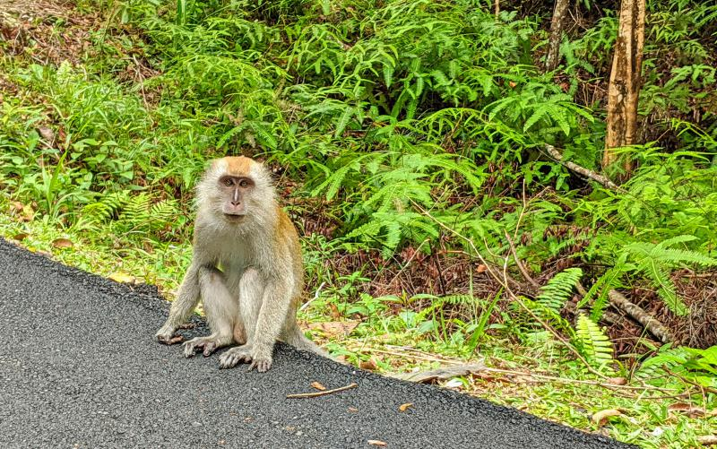 Monkey stares at us during our walk around Air Itam Dam in Penang, Malaysia