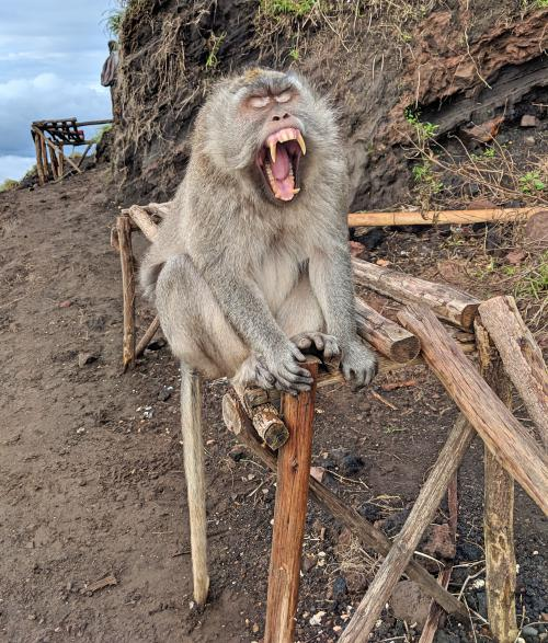 Monkey yawns and shows his large teeth at the top of Mount Batur in Bali, Indonesia. Check out our experiences of doing the Mount Batur sunrise trek.