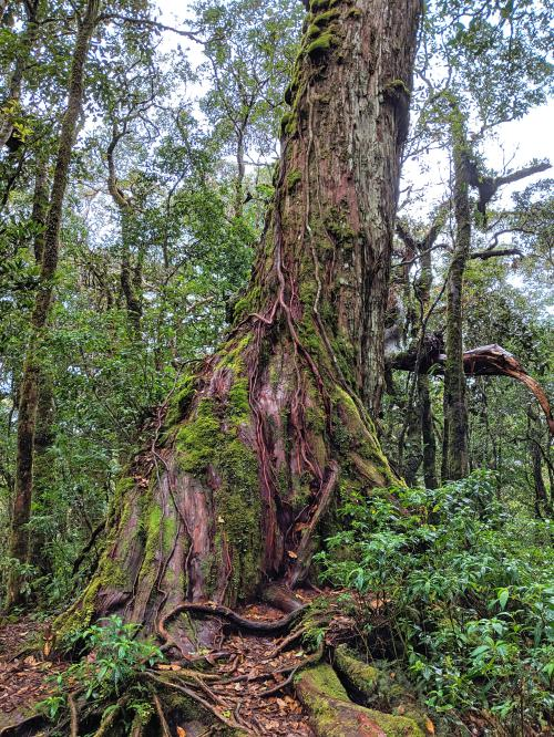 Tall trees with weaved roots at the Bidoup Nui Ba National Park in Dalat, Vietnam