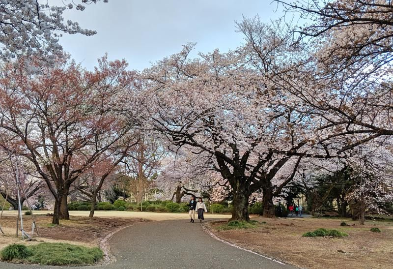 Two people walking through the Shinjuku Gyeon National Garden during cherry blossom season.