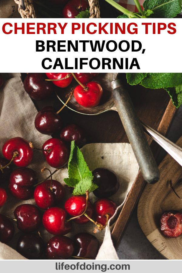 We're sharing cherry picking tips in Brentwood, California such as how to pick them and where to go.