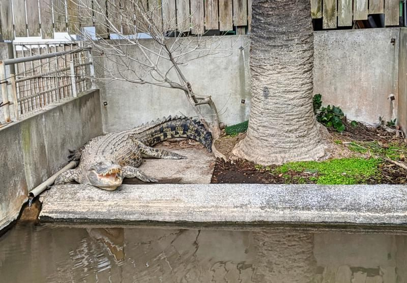 Oniyama Jigoku is one of the Hells of Beppu and has lots of crocodiles here.