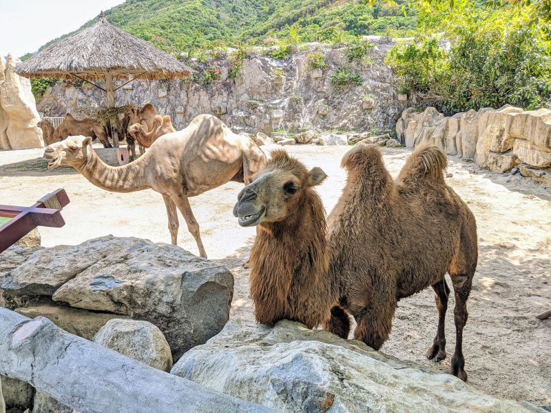 Two camels stand close to the visitors at VinWonders Nha Trang theme park, Vietnam