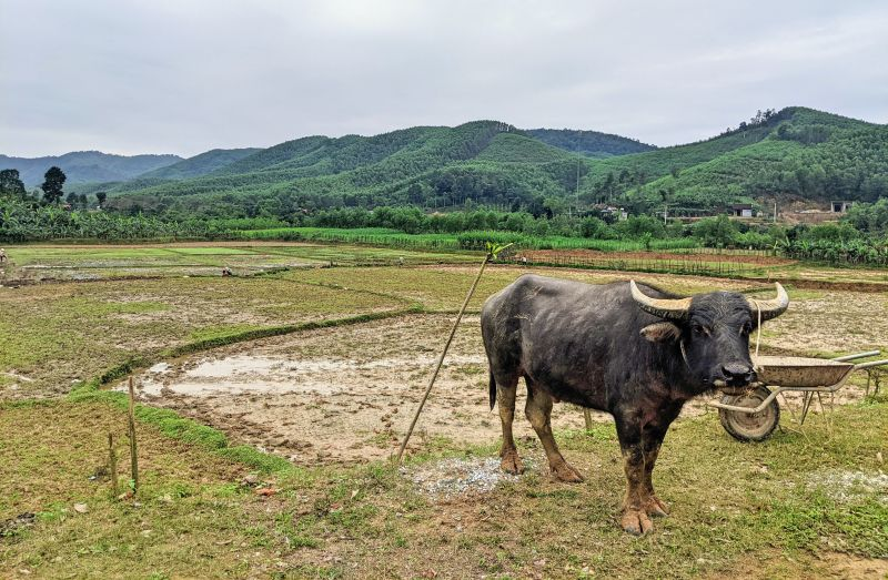 Water buffalo stands on the grass next to the fields in Bong Lai Valley, Phong Nha, Vietnam