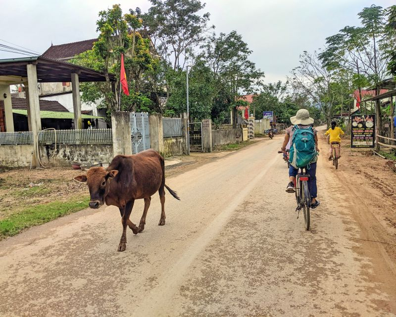 Jackie Szeto, Life Of Doing, rides a bicycle and passes a cow on the Phong Nha streets.