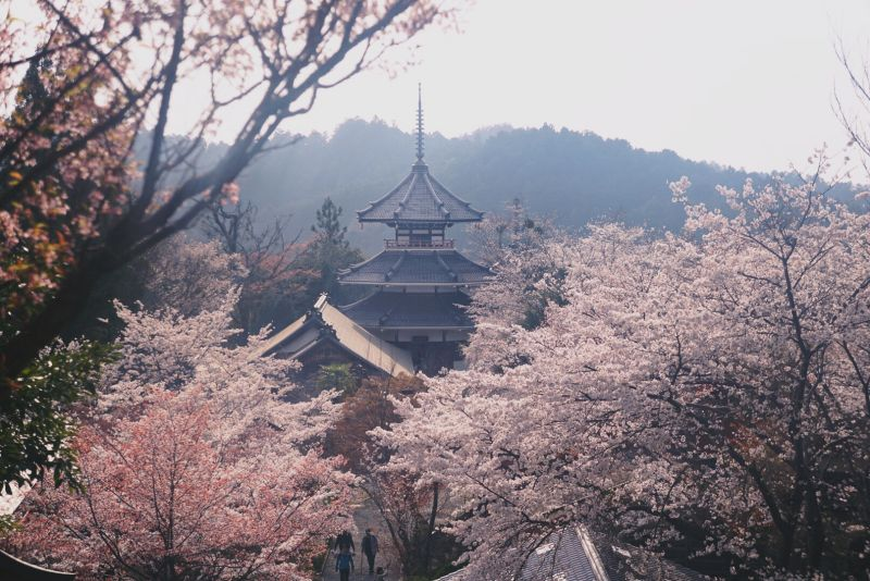 Pink cherry blossoms bloom in front of the pagoda during the Mount Yoshino hike in Nara, Japan