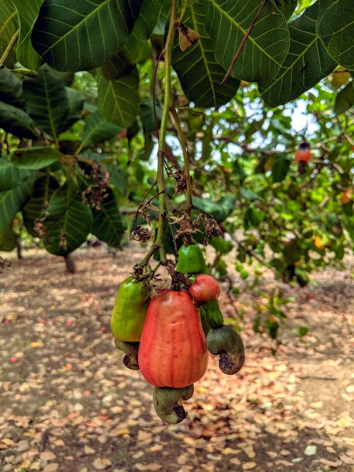 A cashew tree in Binh Phuoc, Vietnam that has a red cashew apple with a cashew nut and unripen green cashew apples