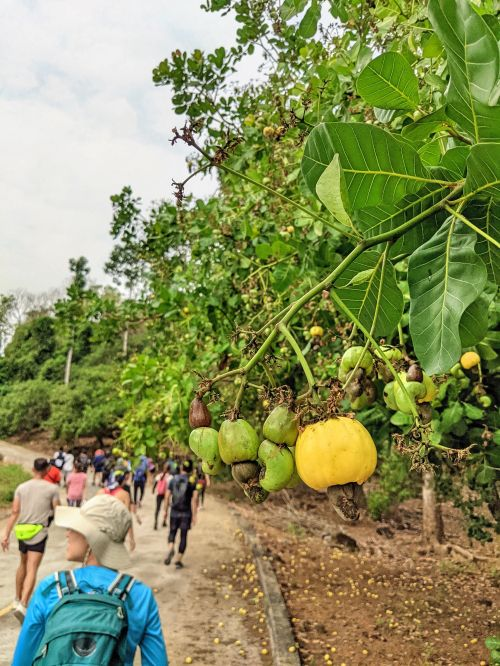 A group of hikers walk past the cashew trees with yello cashew apple fruit on Ba Ra Mountain in Binh Phuoc, Vietnam