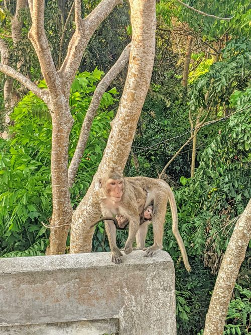 A baby monkey clings to its mother at the parking lot of Minh Dam Mountain