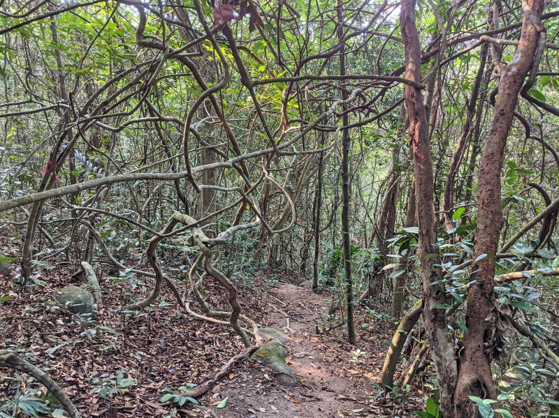Twisted tree branches in a shaded forest area on Minh Dam Mountain near Vung Tau, Vietnam