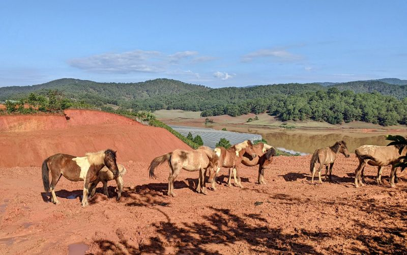 A family of horses on clay-colored dirt in Dalat, Vietnam