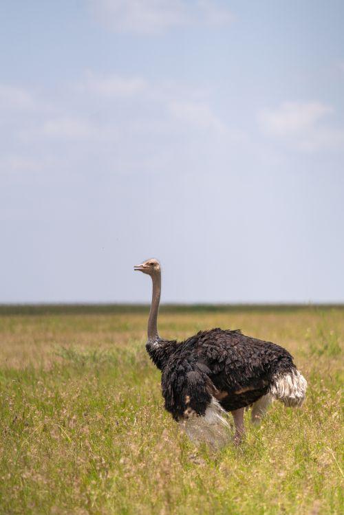 An ostrich standing on the grass